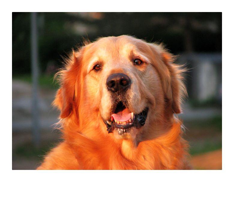 Psy poddane kastracji lub sterylizacji żyją średnio 1,5 roku dłużej