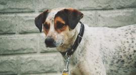 Ratuj psa przed kleszczem LIFESTYLE, Zwierzęta - Babeszjoza, erlichioza, anaplazmoza – choć nazwy tych schorzeń dla wielu osób mogą brzmieć obco, to na styczność z nimi jest niestety narażona znaczna część opiekunów psów. Ich przyczyną jest bowiem ukąszenie zwierzaka przez kleszcza.