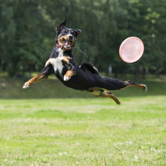 """Mobilna Klinika Bayer zaprasza na bezpłatne konsultacje weterynaryjne LIFESTYLE, Zwierzęta - """"Latające Psy"""" to seria imprez, podczas których psy prezentują niesamowite, nierzadko akrobatyczne umiejętności. Efektowne pokazy można będzie obserwować już w najbliższy weekend 1 i 2 września na Plaży Wilanów (ul. Klimczaka 2)."""