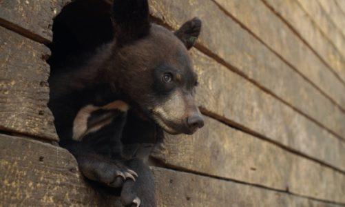 Ocalić niedźwiadki – dokument na Polsat Viasat Nature