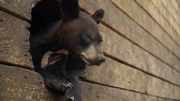 Ocalić niedźwiadki - dokument na Polsat Viasat Nature LIFESTYLE, Zwierzęta - Miłośnicy zwierząt z Northern Lights Wildlife Society prowadzą schronisko dla rannych niedźwiedzi.